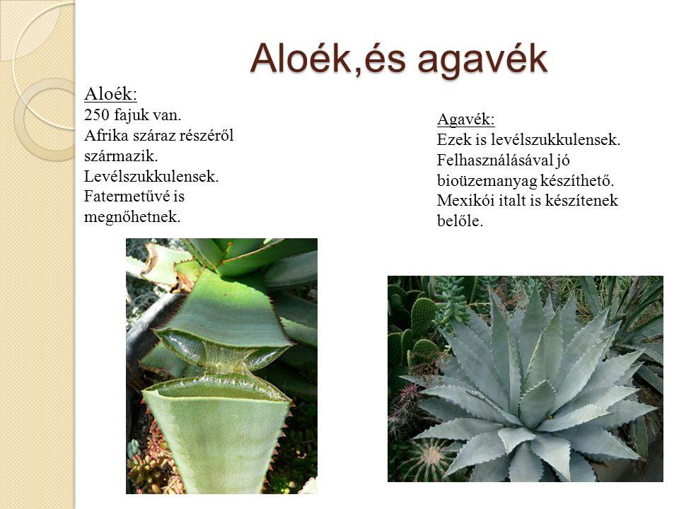 Aloék,és agavék Aloék: 250 fajuk van. Afrika száraz részéről származik.
