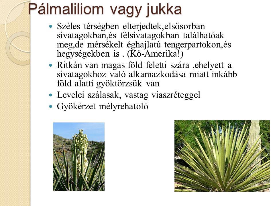 Pálmaliliom vagy jukka Széles térségben elterjedtek,elsősorban sivatagokban,és félsivatagokban találhatóak meg,de mérsékelt éghajlatú tengerpartokon,és hegységekben is.