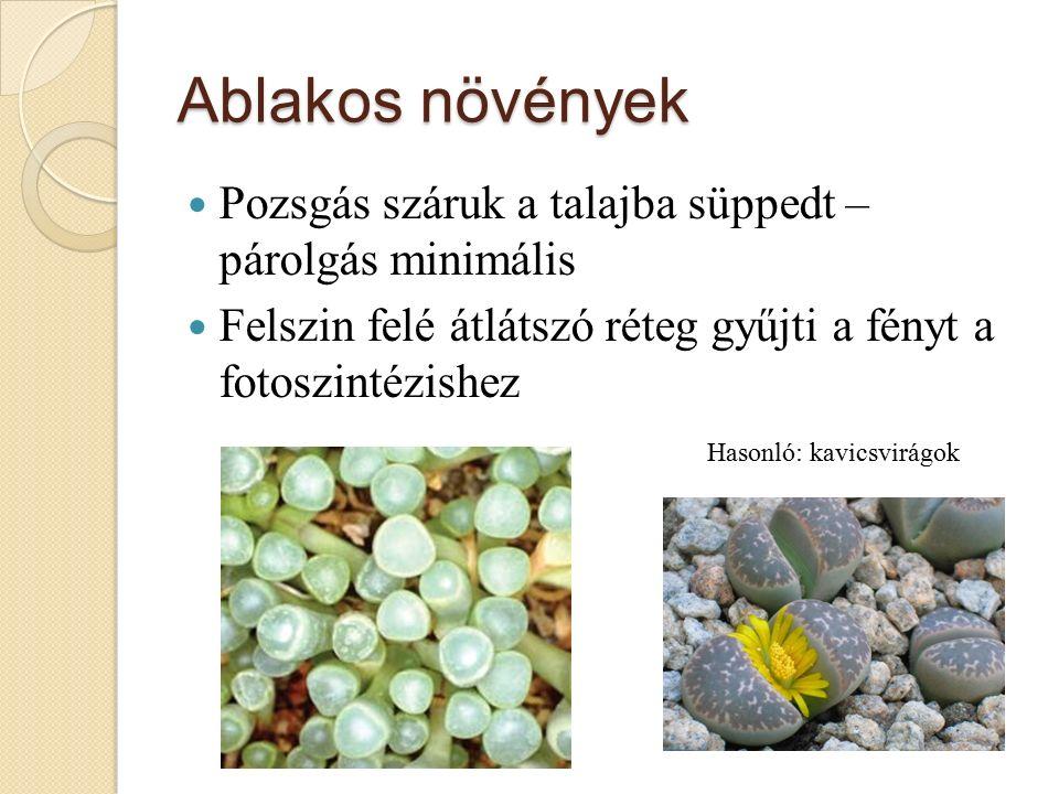 Ablakos növények Pozsgás száruk a talajba süppedt – párolgás minimális Felszin felé átlátszó réteg gyűjti a fényt a fotoszintézishez Hasonló: kavicsvirágok
