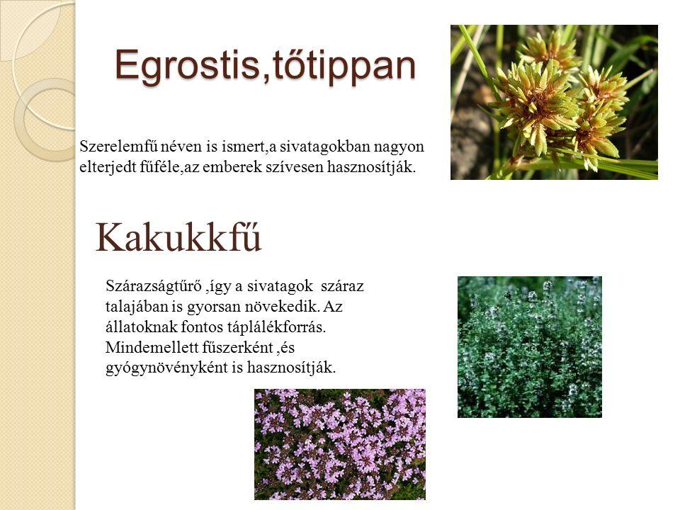 Egrostis,tőtippan Szerelemfű néven is ismert,a sivatagokban nagyon elterjedt fűféle,az emberek szívesen hasznosítják.