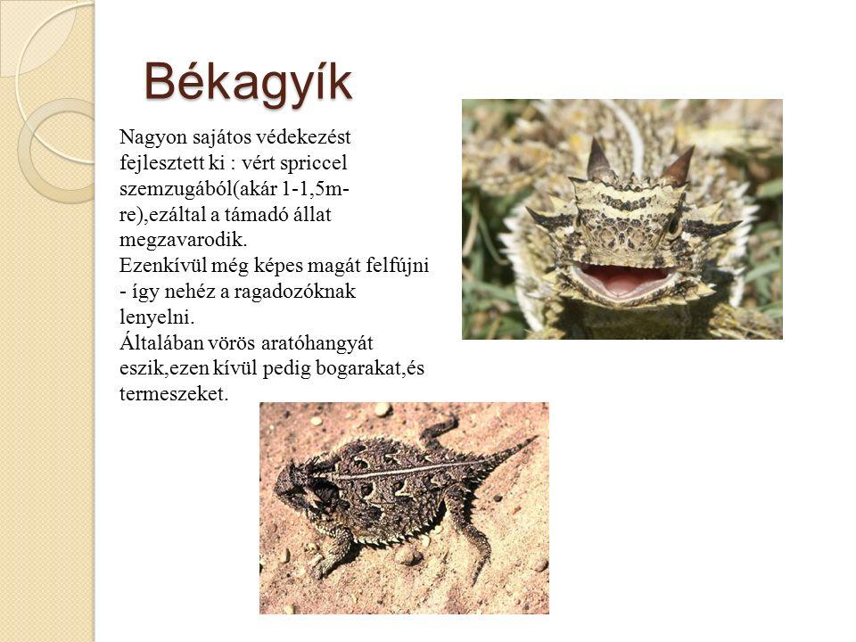 Békagyík Nagyon sajátos védekezést fejlesztett ki : vért spriccel szemzugából(akár 1-1,5m- re),ezáltal a támadó állat megzavarodik.