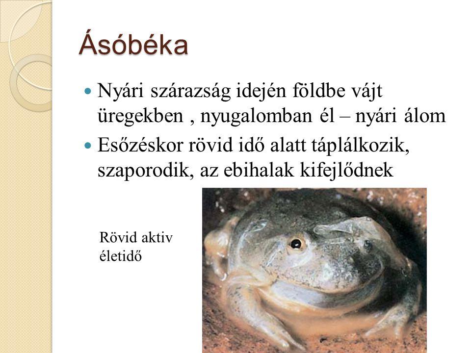 Ásóbéka Nyári szárazság idején földbe vájt üregekben, nyugalomban él – nyári álom Esőzéskor rövid idő alatt táplálkozik, szaporodik, az ebihalak kifejlődnek Rövid aktiv életidő