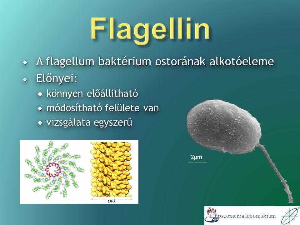 Ellipszometria laboratórium  A flagellum baktérium ostorának alkotóeleme  Előnyei:  könnyen előállítható  módosítható felülete van  vizsgálata egyszerű  A flagellum baktérium ostorának alkotóeleme  Előnyei:  könnyen előállítható  módosítható felülete van  vizsgálata egyszerű 2μm2μm