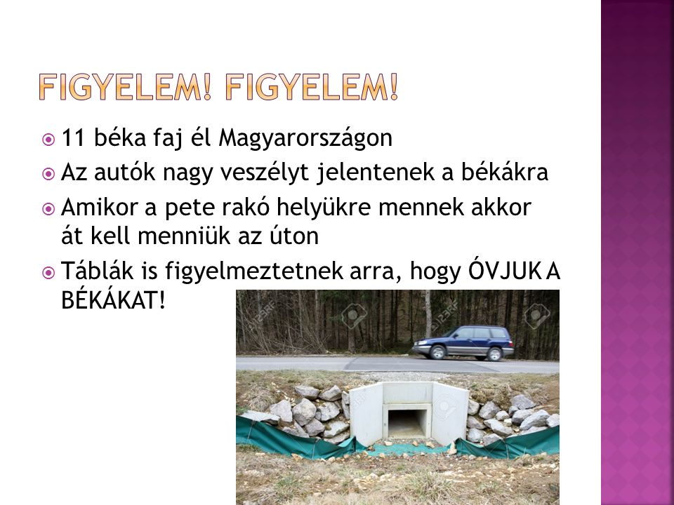  11 béka faj él Magyarországon  Az autók nagy veszélyt jelentenek a békákra  Amikor a pete rakó helyükre mennek akkor át kell menniük az úton  Táblák is figyelmeztetnek arra, hogy ÓVJUK A BÉKÁKAT!