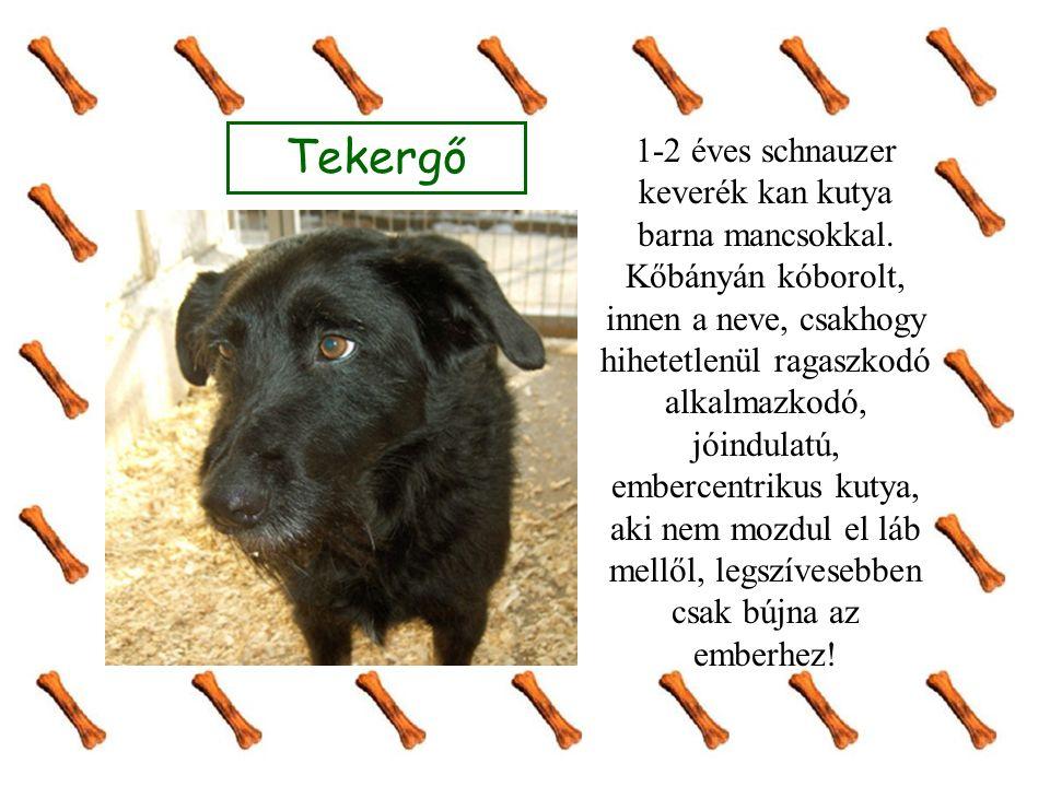 Tekergő 1-2 éves schnauzer keverék kan kutya barna mancsokkal.