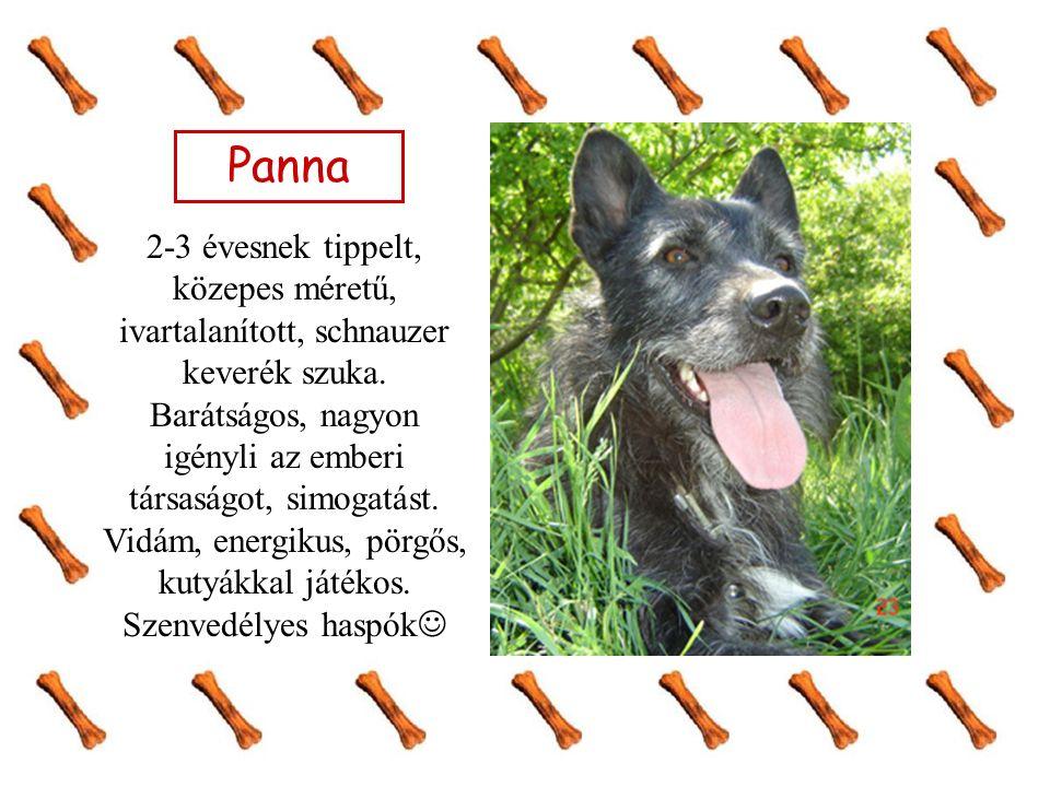 Panna 2-3 évesnek tippelt, közepes méretű, ivartalanított, schnauzer keverék szuka.