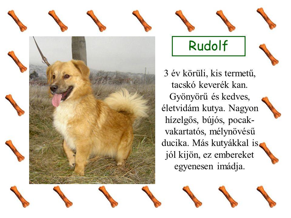 Rudolf 3 év körüli, kis termetű, tacskó keverék kan.