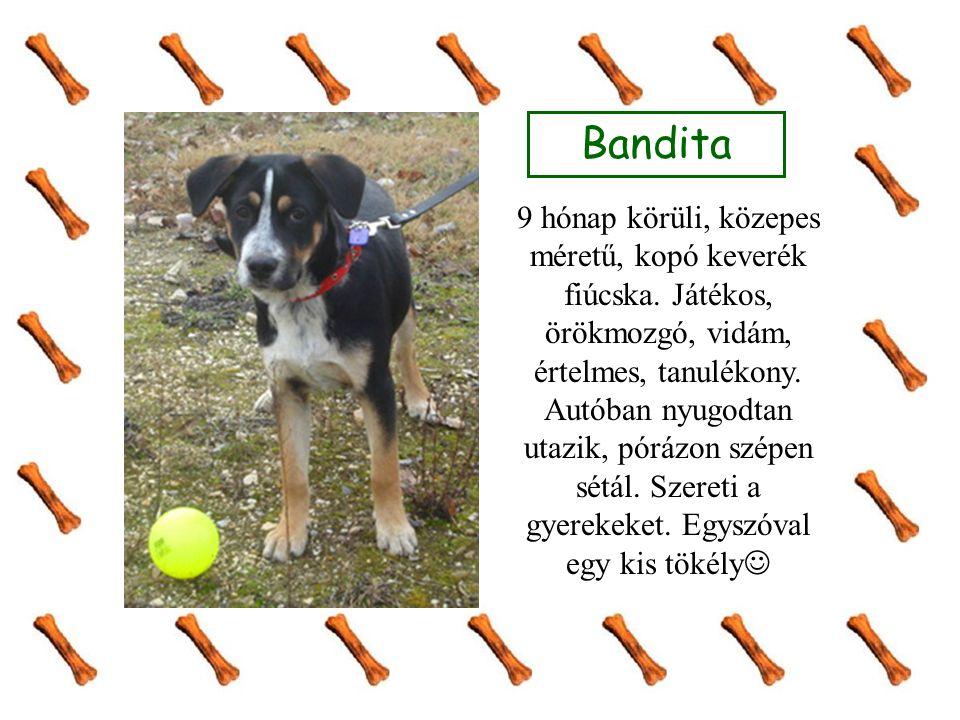 Bandita 9 hónap körüli, közepes méretű, kopó keverék fiúcska. Játékos, örökmozgó, vidám, értelmes, tanulékony. Autóban nyugodtan utazik, pórázon szépe