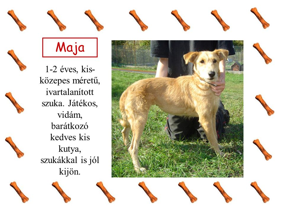 Maja 1-2 éves, kis- közepes méretű, ivartalanított szuka. Játékos, vidám, barátkozó kedves kis kutya, szukákkal is jól kijön.