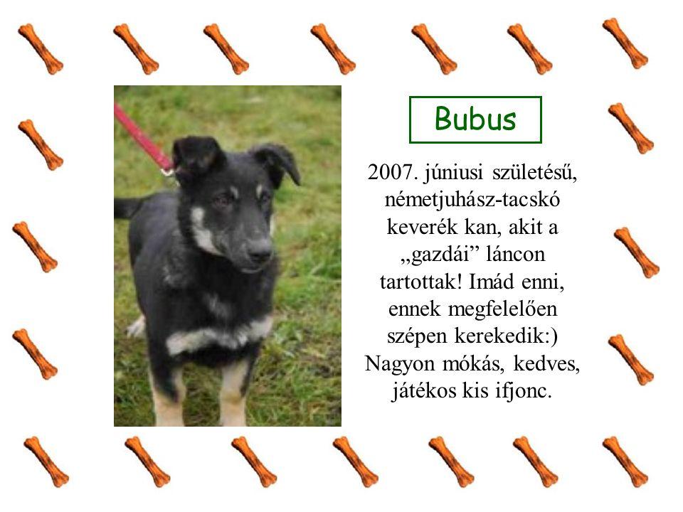 """Bubus 2007. júniusi születésű, németjuhász-tacskó keverék kan, akit a """"gazdái láncon tartottak."""