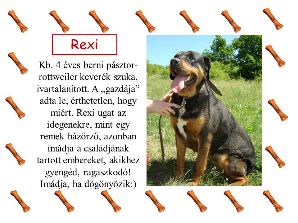 Rexi Kb. 4 éves berni pásztor- rottweiler keverék szuka, ivartalanított.