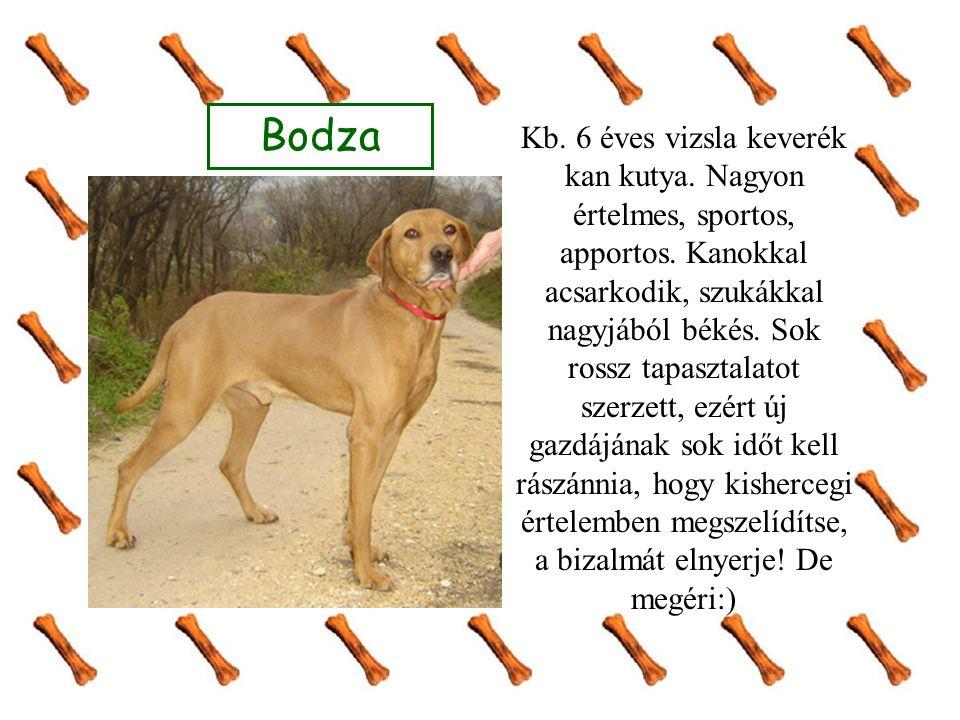 Bodza Kb. 6 éves vizsla keverék kan kutya. Nagyon értelmes, sportos, apportos. Kanokkal acsarkodik, szukákkal nagyjából békés. Sok rossz tapasztalatot