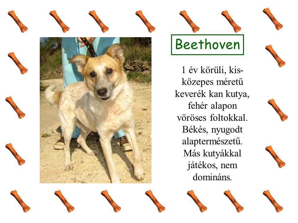 Beethoven 1 év körüli, kis- közepes méretű keverék kan kutya, fehér alapon vöröses foltokkal.