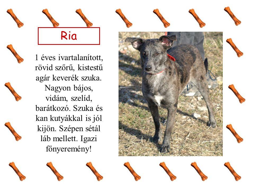 Ria 1 éves ivartalanított, rövid szőrű, kistestű agár keverék szuka. Nagyon bájos, vidám, szelíd, barátkozó. Szuka és kan kutyákkal is jól kijön. Szép