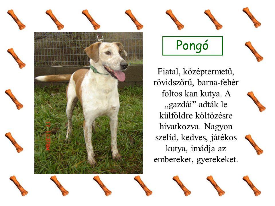 Pongó Fiatal, középtermetű, rövidszőrű, barna-fehér foltos kan kutya.