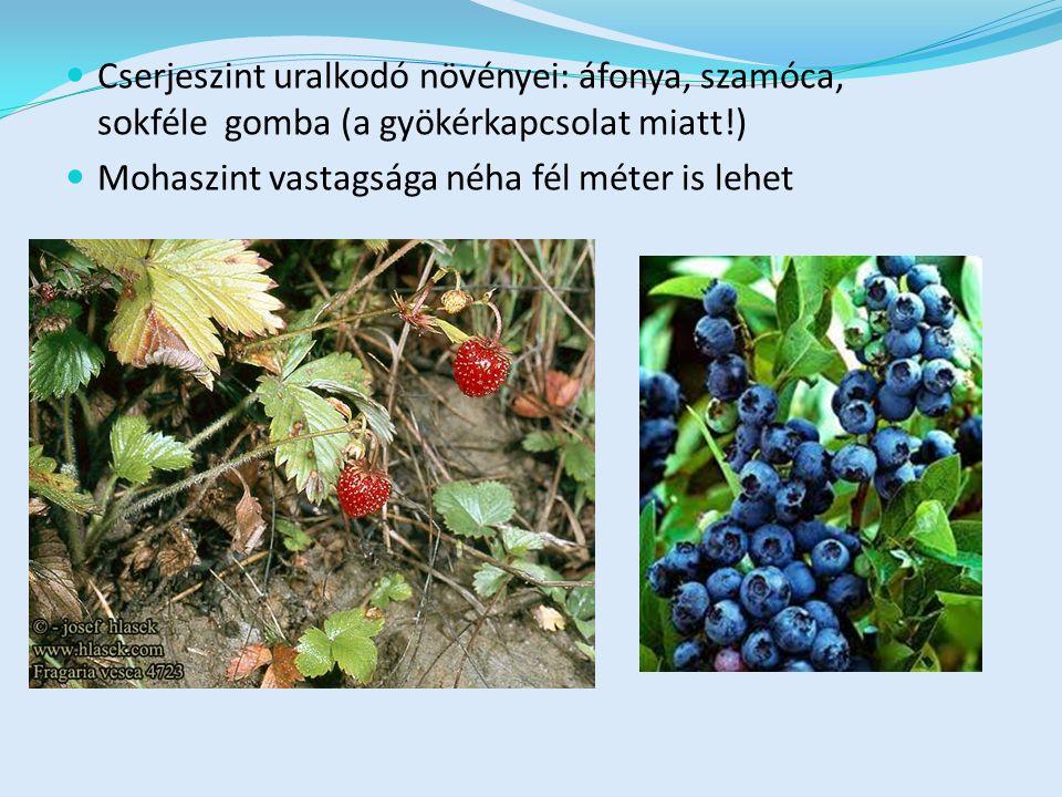 Cserjeszint uralkodó növényei: áfonya, szamóca, sokféle gomba (a gyökérkapcsolat miatt!) Mohaszint vastagsága néha fél méter is lehet