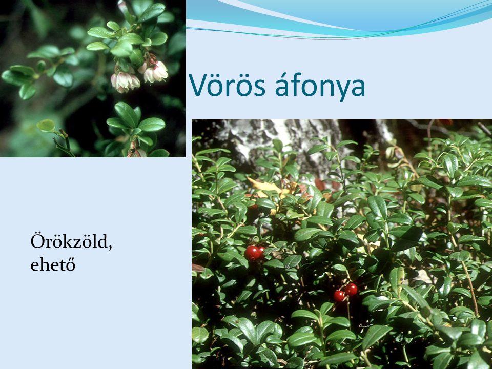 Vörös áfonya Örökzöld, ehető
