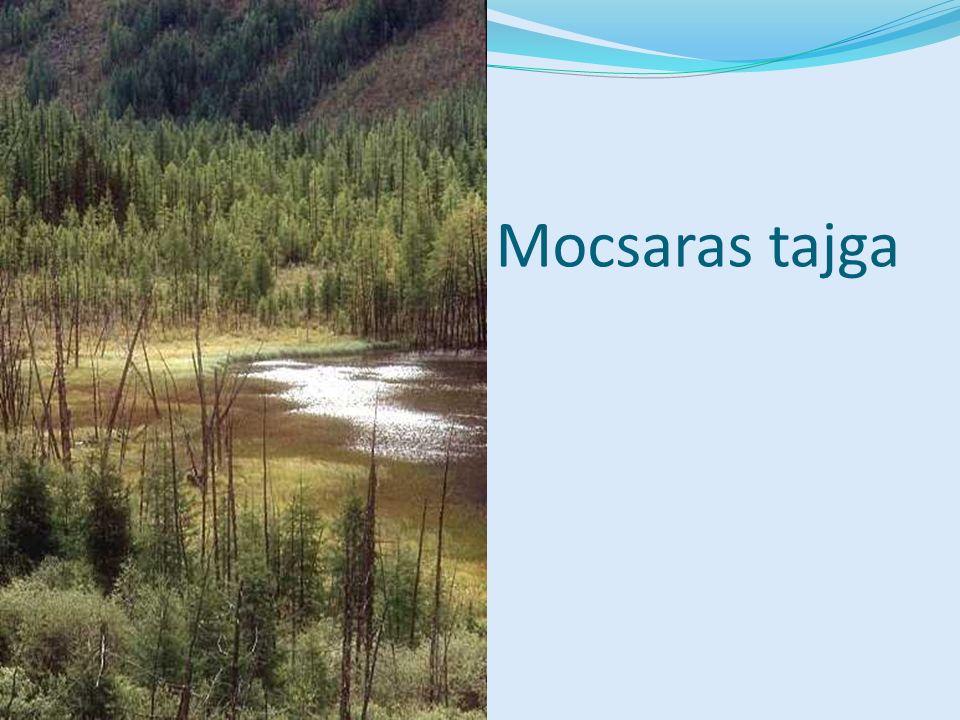 Mocsaras tajga