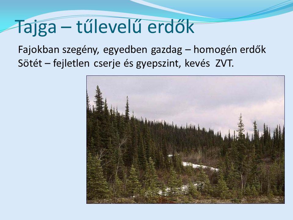 Tajga – tűlevelű erdők Fajokban szegény, egyedben gazdag – homogén erdők Sötét – fejletlen cserje és gyepszint, kevés ZVT.