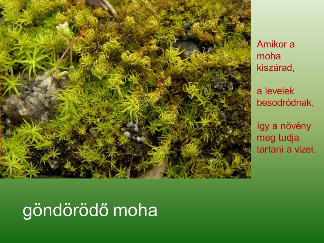 göndörödő moha Amikor a moha kiszárad, a levelek besodródnak, így a növény meg tudja tartani a vizet.