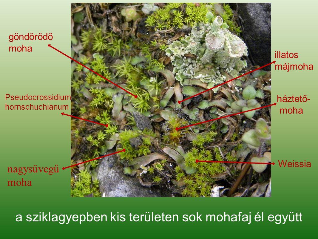 a sziklagyepben kis területen sok mohafaj él együtt illatos májmoha háztető- moha göndörödő moha Weissia nagysüvegű moha Pseudocrossidium hornschuchianum