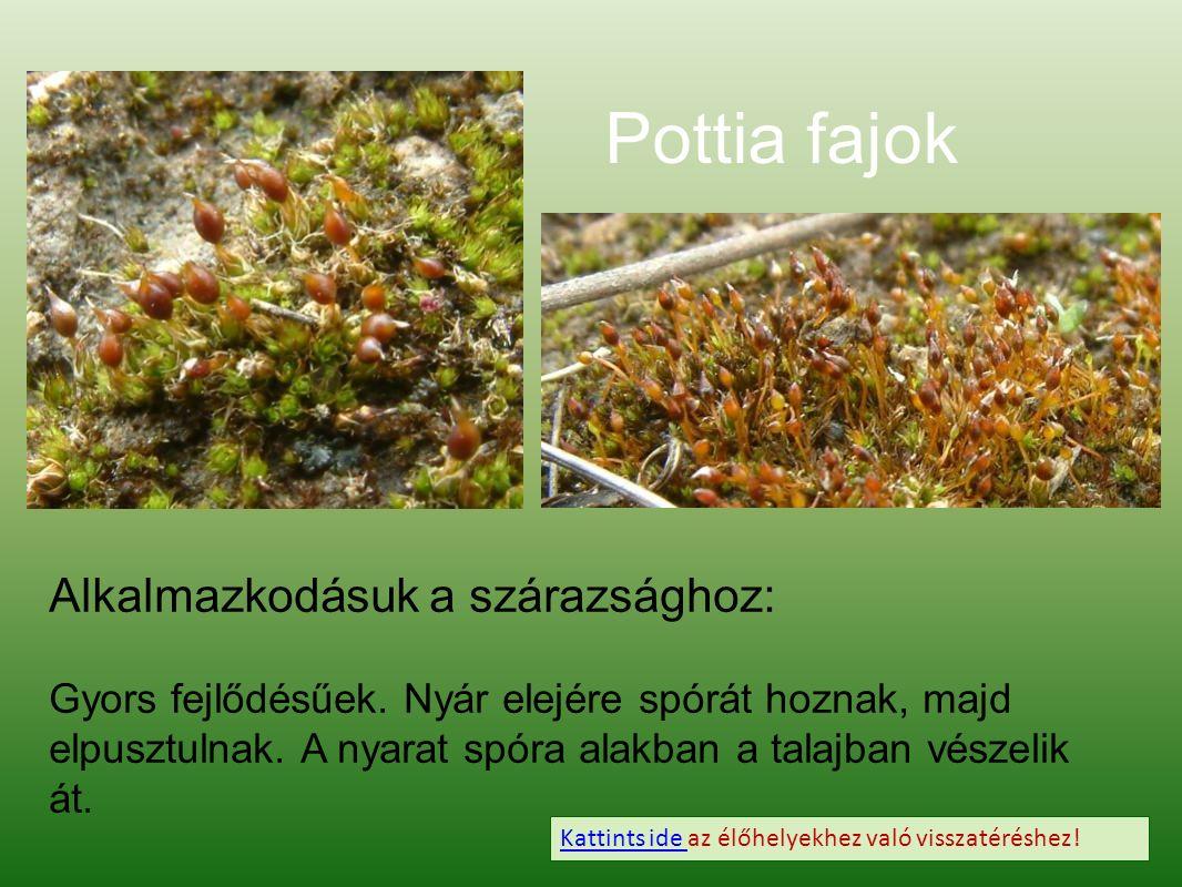 Pottia fajok Alkalmazkodásuk a szárazsághoz: Gyors fejlődésűek.