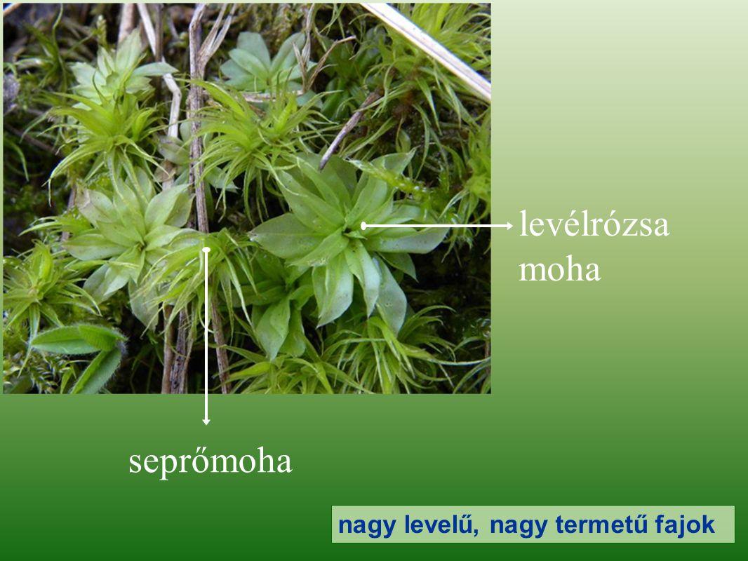 levélrózsa moha seprőmoha nagy levelű, nagy termetű fajok