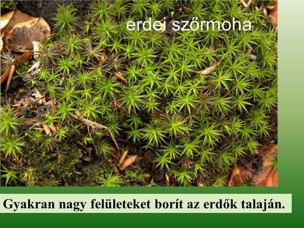 erdei szőrmoha Gyakran nagy felületeket borít az erdők talaján.