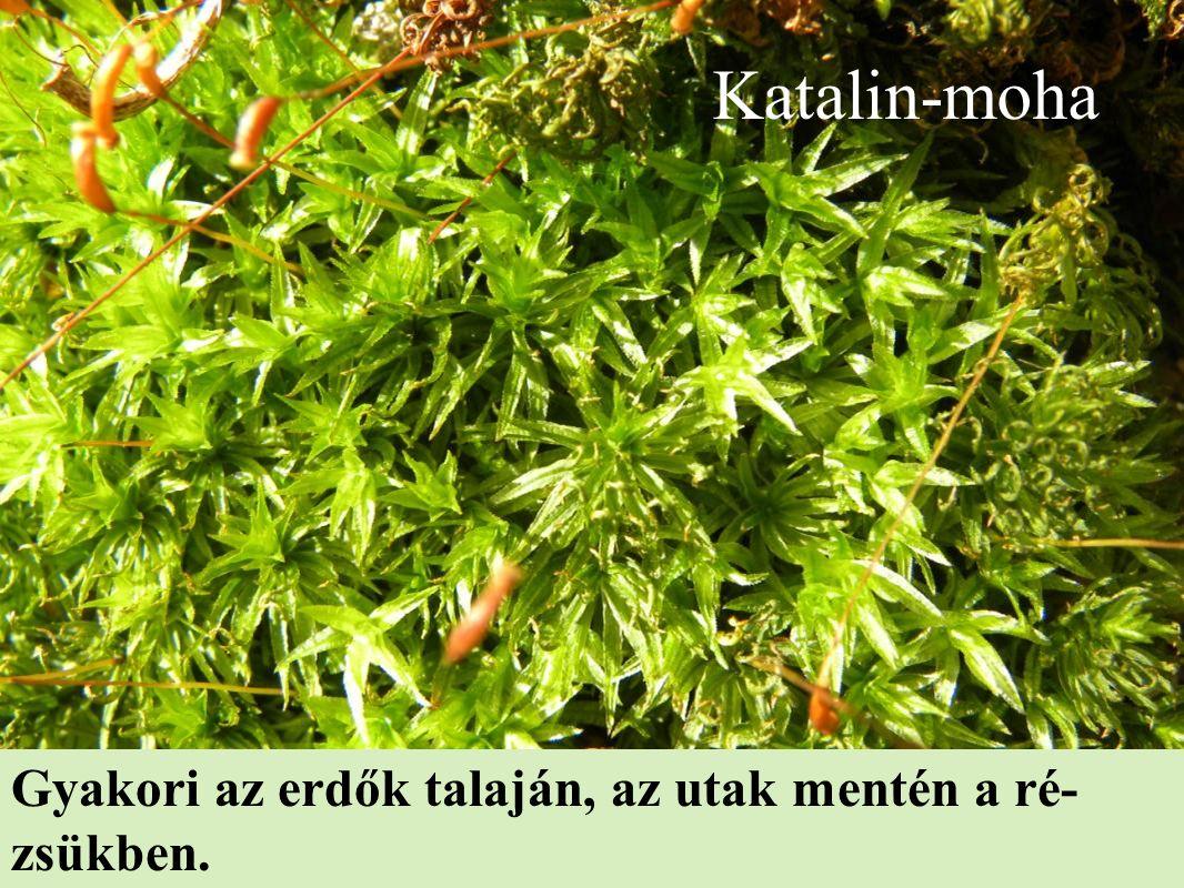 Katalin-moha Gyakori az erdők talaján, az utak mentén a ré- zsükben.