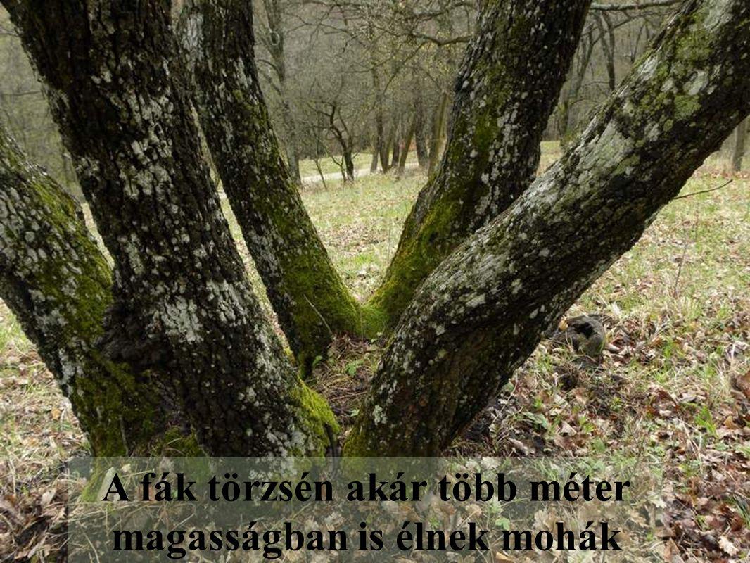 A fák törzsén akár több méter magasságban is élnek mohák
