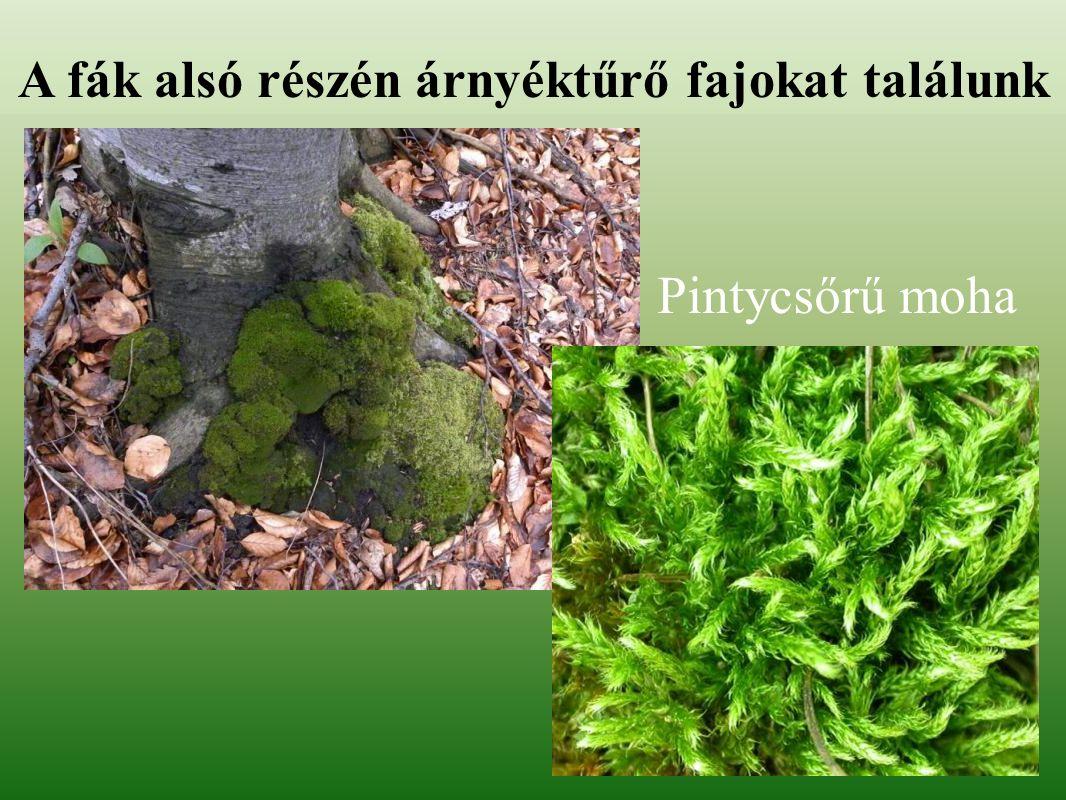 A fák alsó részén árnyéktűrő fajokat találunk Pintycsőrű moha