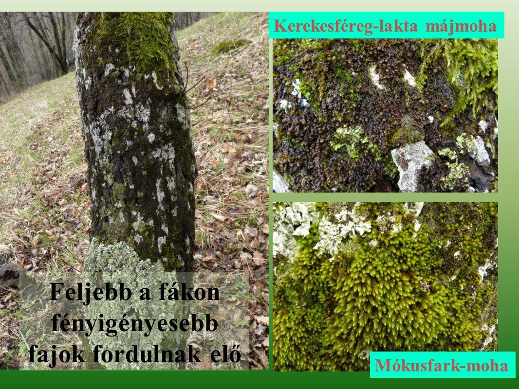 Kerekesféreg-lakta májmoha Mókusfark-moha Feljebb a fákon fényigényesebb fajok fordulnak elő