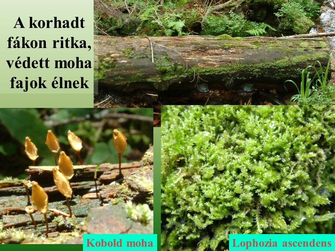 A korhadt fákon ritka, védett moha fajok élnek Kobold mohaLophozia ascendens