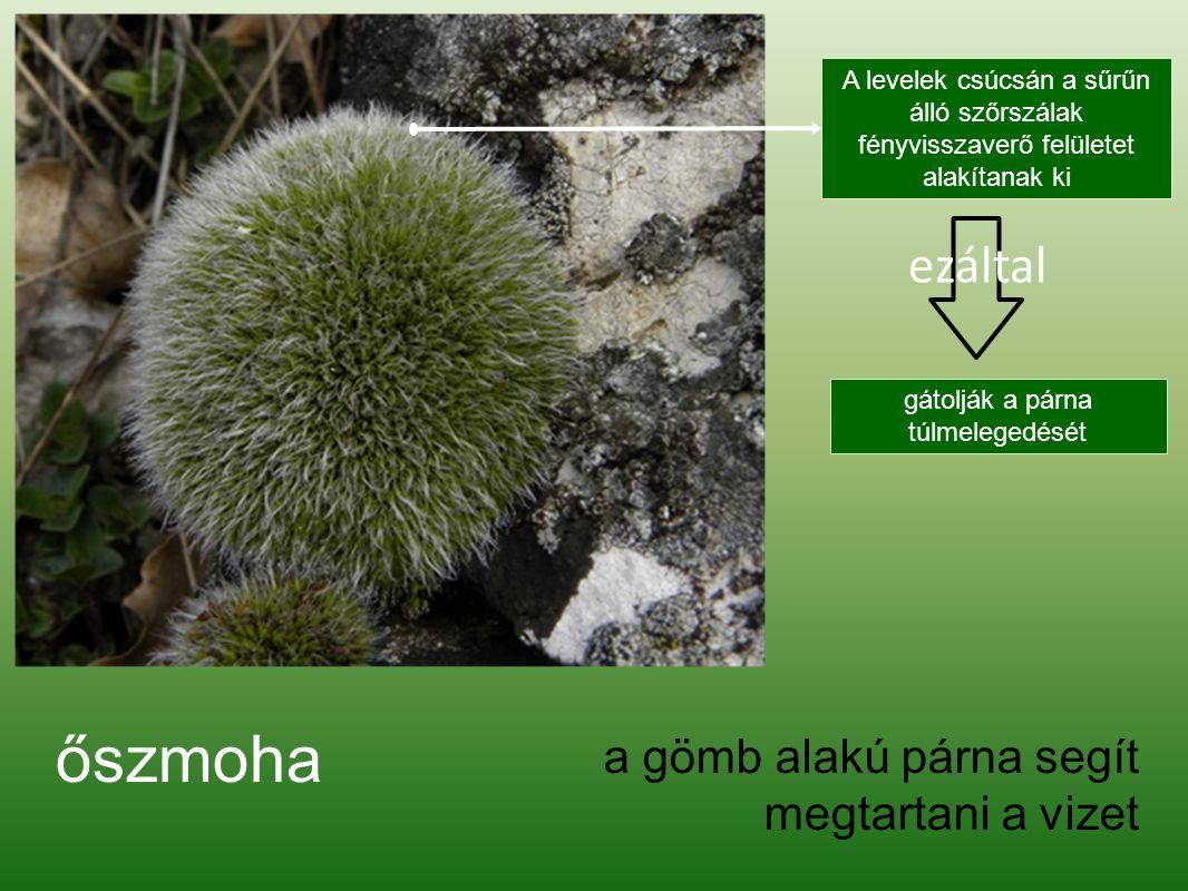 Vastagerű moha Leggyakoribb faj patakokban, forrásokban.