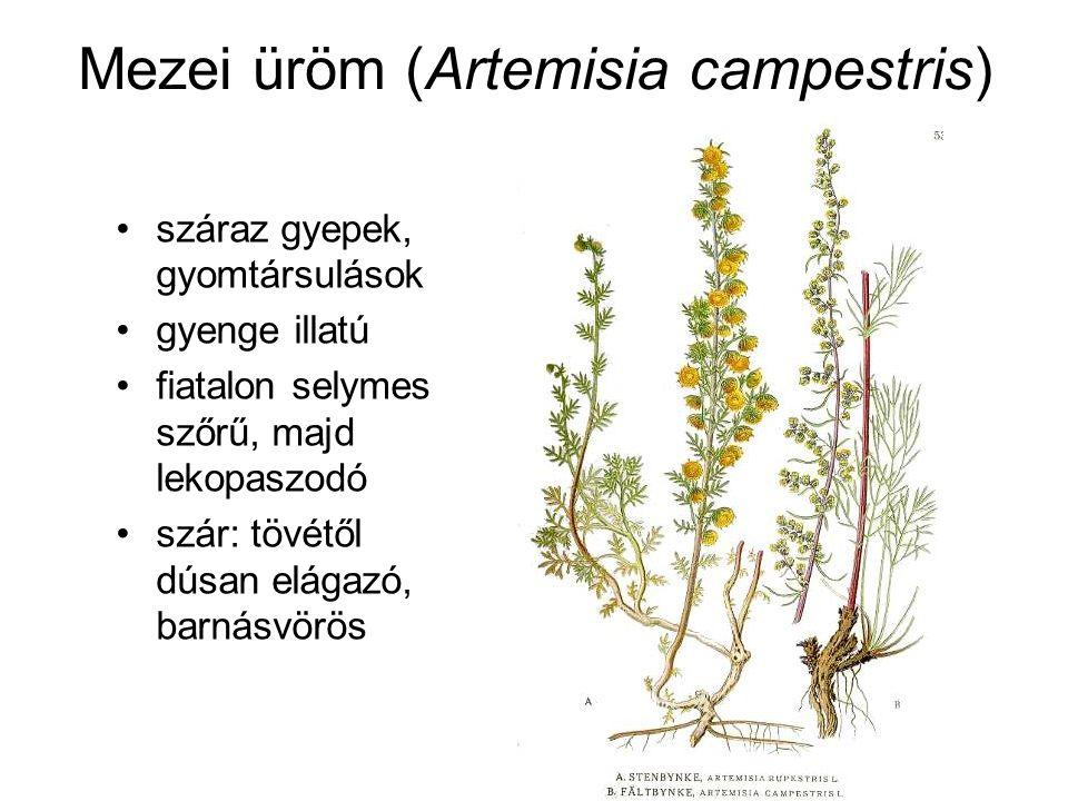 Mezei üröm (Artemisia campestris) száraz gyepek, gyomtársulások gyenge illatú fiatalon selymes szőrű, majd lekopaszodó szár: tövétől dúsan elágazó, barnásvörös