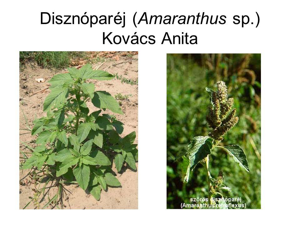 Disznóparéj (Amaranthus sp.) Kovács Anita