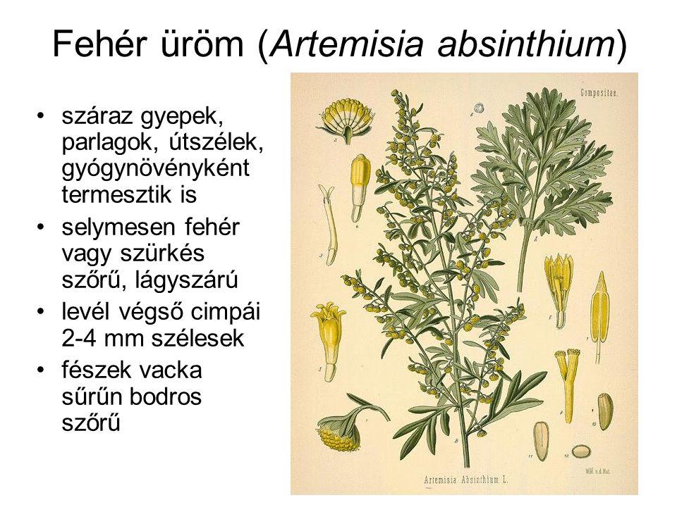 Fehér üröm (Artemisia absinthium) száraz gyepek, parlagok, útszélek, gyógynövényként termesztik is selymesen fehér vagy szürkés szőrű, lágyszárú levél végső cimpái 2-4 mm szélesek fészek vacka sűrűn bodros szőrű