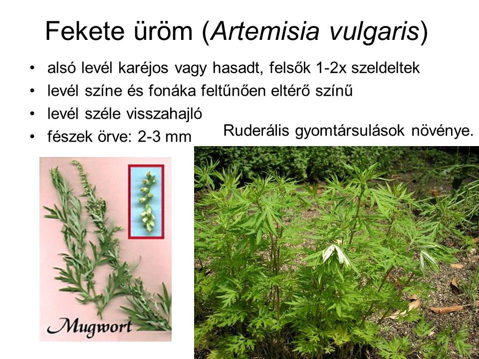 Fekete üröm (Artemisia vulgaris) alsó levél karéjos vagy hasadt, felsők 1-2x szeldeltek levél színe és fonáka feltűnően eltérő színű levél széle visszahajló fészek örve: 2-3 mm Ruderális gyomtársulások növénye.