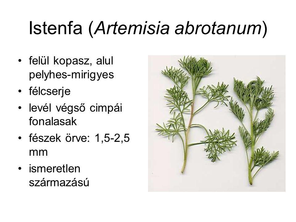 Istenfa (Artemisia abrotanum) felül kopasz, alul pelyhes-mirigyes félcserje levél végső cimpái fonalasak fészek örve: 1,5-2,5 mm ismeretlen származású