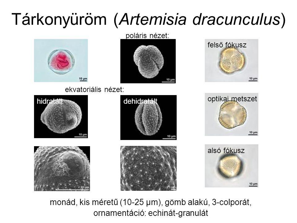 Tárkonyüröm (Artemisia dracunculus) monád, kis méretű (10-25 µm), gömb alakú, 3-colporát, ornamentáció: echinát-granulát poláris nézet: ekvatoriális nézet: hidratáltdehidratált felső fókusz optikai metszet alsó fókusz