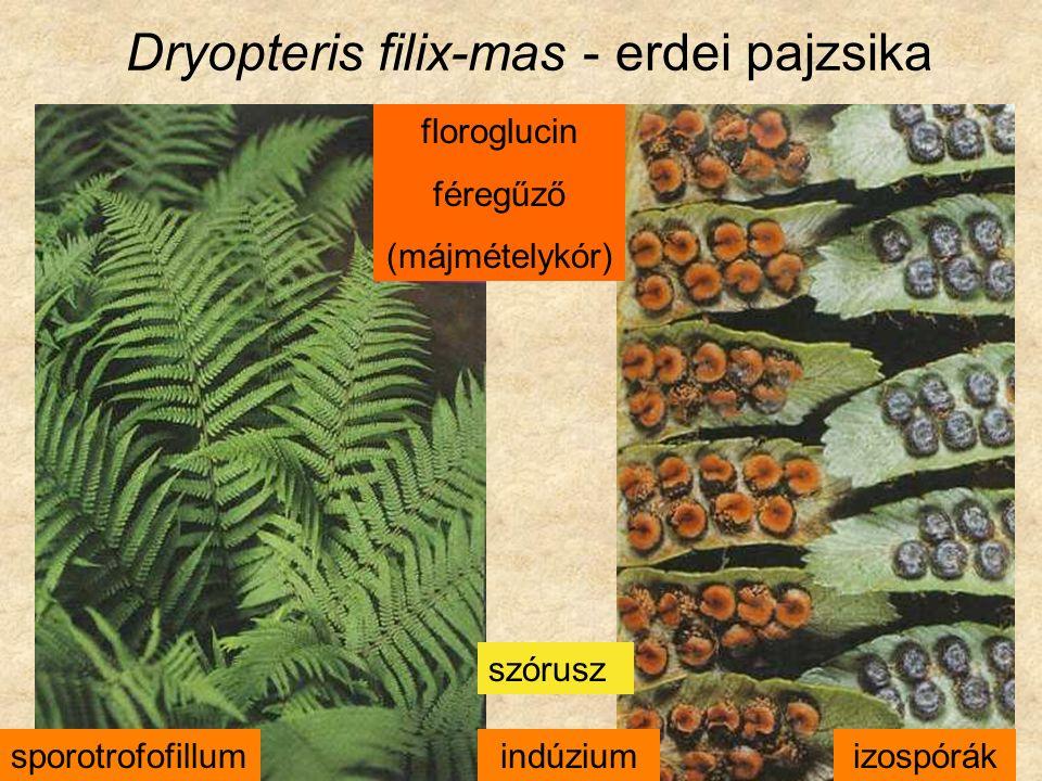 Dryopteris filix-mas - erdei pajzsika sporotrofofillumindúziumizospórák szórusz floroglucin féregűző (májmételykór)