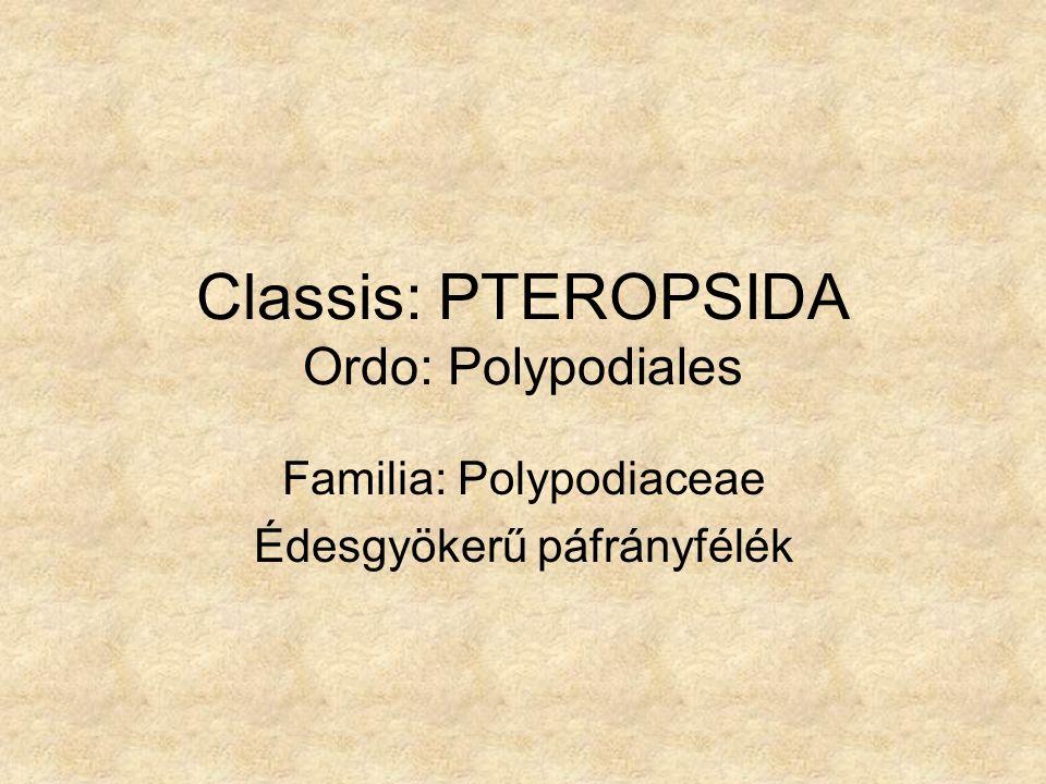 Classis: PTEROPSIDA Ordo: Polypodiales Familia: Polypodiaceae Édesgyökerű páfrányfélék