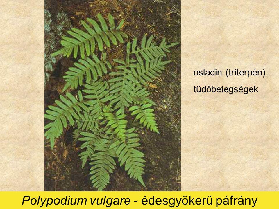Polypodium vulgare - édesgyökerű páfrány osladin (triterpén) tüdőbetegségek