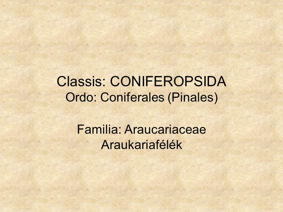 Araucaria sp. A. excelsa - szobafenyő