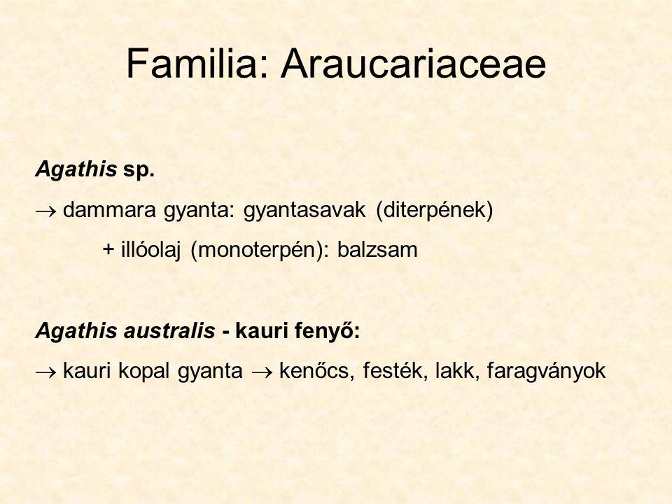 Familia: Araucariaceae Agathis sp.