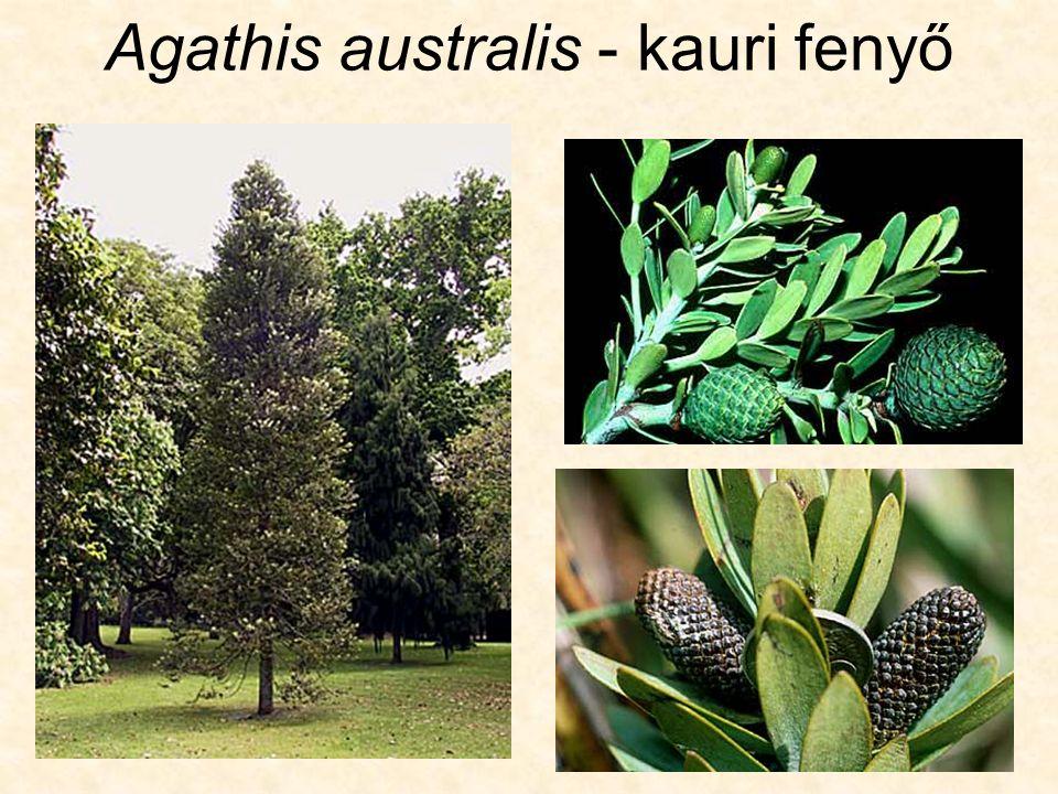 Classis: CONIFEROPSIDA Ordo: Coniferales (Pinales) Familia: Abietaceae (Pinaceae) - fenyőfélék 3 alcsalád: 1.subfamilia: Abietoideae – jegenyefenyőfélék 2.subfamilia: Laricoideae – vörösfenyőfélék 3.subfamilia: Pinoideae – erdei fenyőfélék
