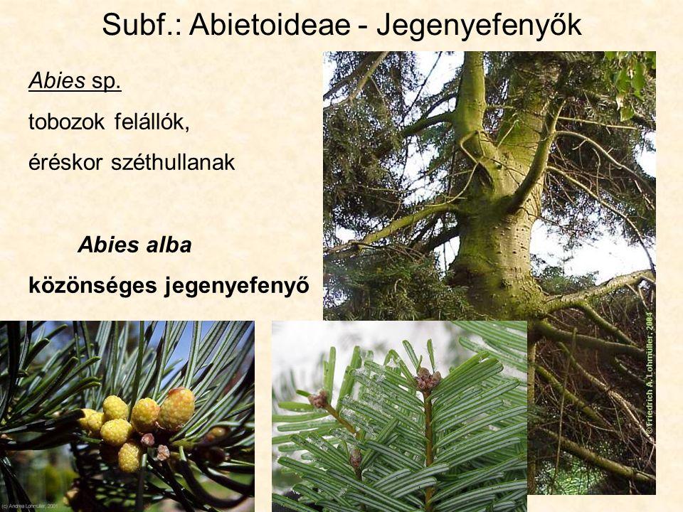 Subf.: Abietoideae - Jegenyefenyők Abies sp.