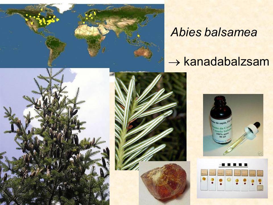Subf.: Abietoideae tobozok lefelé hajlók, egészben hullanak le: Pseudotsuga sp.