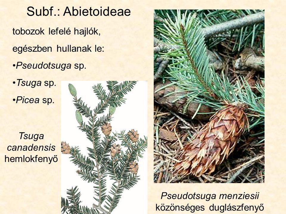 Picea abies - közönséges lucfenyő