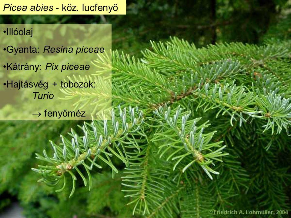 """Subf.: Laricoideae - Vörösfenyőfélék Larix decidua európai vörösfenyő balzsam: """"velencei terpentin (terpentinnel hígítható festék)"""
